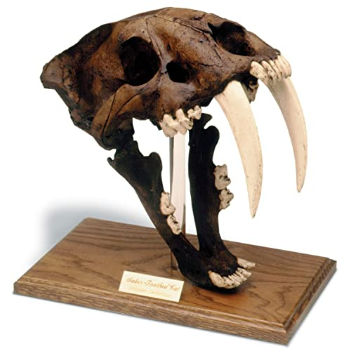 5a06c789a Saber Tooth Tiger Skull w/stand: Tar pit finish
