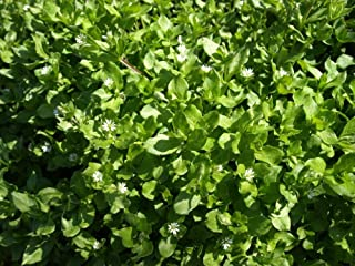 David's Garden Seeds Herb Chickweed Common 8337 (Green) 100 Non-GMO, Open Pollinated Seeds