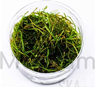 Mainam Vesicularia Dubyana | Java Moss (Naturally Grown) in Full Cup Live Aquarium Plant Decorations Freshwater Tropical Wide Terrarium Vivarium