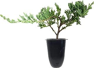 Juniper Bar Harbor - 50 Live Plants - Juniperus Horizontalis - Drought Tolerant Cold Hardy Evergreen Ground Cover