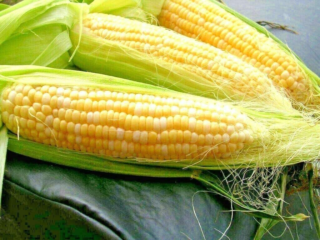 Fresh Seeds -60+ Max 83% OFF Peaches Max 50% OFF Cream Bi-Color Sweet Corn Extra