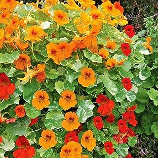 Mix Rock Cress Climbing Edible Flowers Tropaeolum Majus 25 Nasturtium Seeds