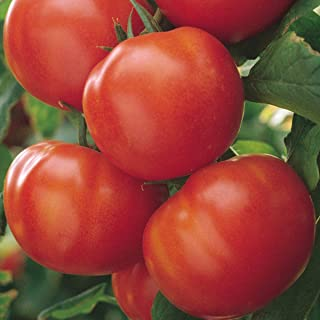 Burpee 'Matina' Organic | Red Slicing Saladette Tomato | 40 Seeds