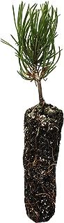 Mugo Pine | Small Tree Seedling | The Jonsteen Company