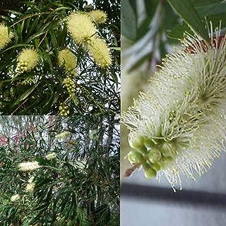White Willow bottlebrush (callistemon salignus) Seeds 'Bush Tucker Plant'