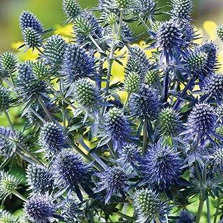 発芽種子:葉面に3000種シャルドンブルー/ Panicaut/ヒゴタイサイコ属Planum