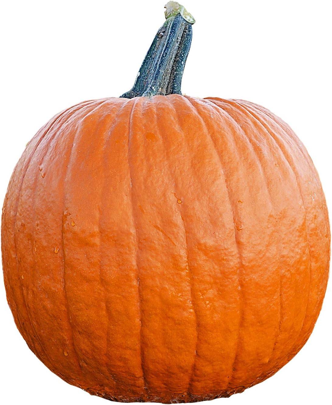 Pumpkin Seeds Baby Boo Seeds Treated 100 BULK SEEDS
