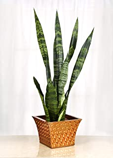 Live Sansevieria with Bronze-Plated, Metal Gift Container - 6 Inch Indoor Plant