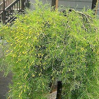 オーガニック種子:1000種:S PEASHRUBのムレスズメ属arborescensの10、50、100、500、Farmerlyによる1000個の種子