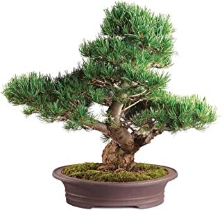 Brussel's Live Japanese Five Needle Pine Specimen Outdoor Bonsai Tree - 40 Years Old; 13