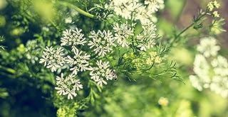 500 Graines de Anis vert Médicinal et Comestible plante Graines Aromatiques