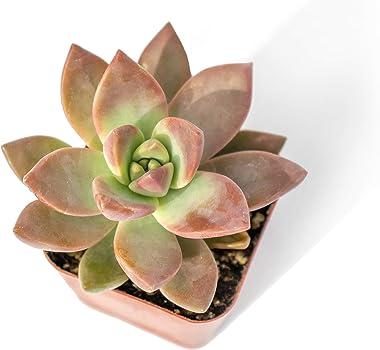Altman Plants, Live Succulent Plants (12 Pack) Assorted Potted Succulents Plants Live House Plants in Cacti and Succulent Soi