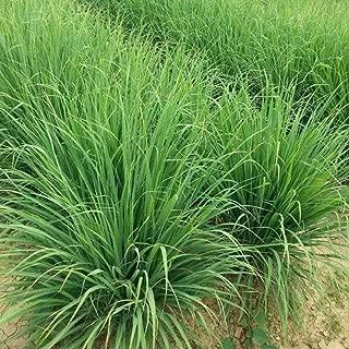 Herb Garden Seed,Basil, Rosemary,Lemon Grass, Parsley,Thyme Seeds for Planting (Lemon Grass)