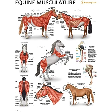 Equine Hindlimb Regional Joint Bone Anatomy Chart Horse