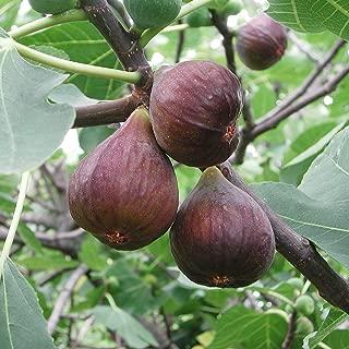 Van Zyverden 83921 Fig Tree Desert King 1 Plant, 5