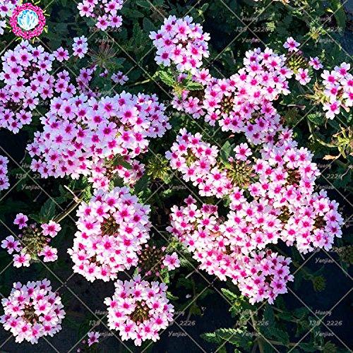 50PCS mixte graines Verveine Couleur Verveine hybrida Voss fleurs bonsaï rare Graines de plantes vivaces balcon pour le jardin à la maison 2