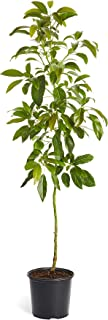 Brighter Blooms - HASS Avocado Tree - Indoor/Outdoor Potted Fruit Tree, 3-4 Feet - No Shipping to AZ