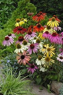 Seed Echinacea Cheyenne Spirit Flower Perennial Coneflower Long Last Bloom Heirloom Canada Bestdealhere SE (10)