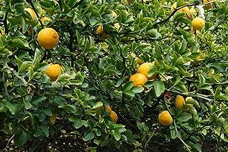 Poncirus trifoliata, Hardy Orange Starter Plant (1 Plant)