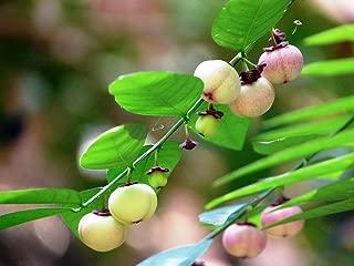 Katuk - Tropical Asparagus - Star Gooseberry - Sweet Leaf - Sauropus - 4