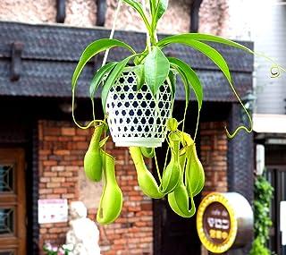 【 花想久里 はなおくり ウツボカズラ 4寸 生 】 ネペンテス 食虫植物 ぶらさがった奇妙な姿が 人気 の 観葉植物 緑のウツボカズラ