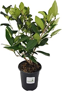 Sandys Nursery Online Ligustrum Lucidum Tree Shrub, Quart Pot
