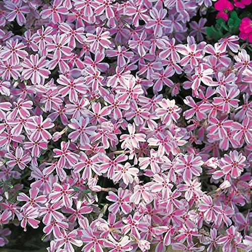 Kölle Teppich-Phlox, 3er-Set, Phlox subulata 'Candy Stripes', Topf 12 cm