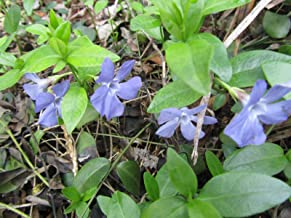 20+ Periwinkle ca esing Plants Ground Cover