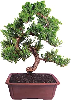 Best can you bonsai any tree Reviews