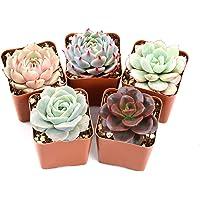 5-Pack The Next Gardener Live Indoor Succulent Plants