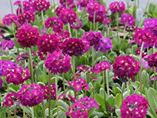 Primula denticulata 'drumstick Primrose'-Mixed colours-20 Fresh Seeds