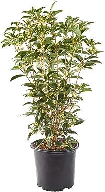 Shrub Tea Olive Osmanthus 2.25 Gal, White Blooms