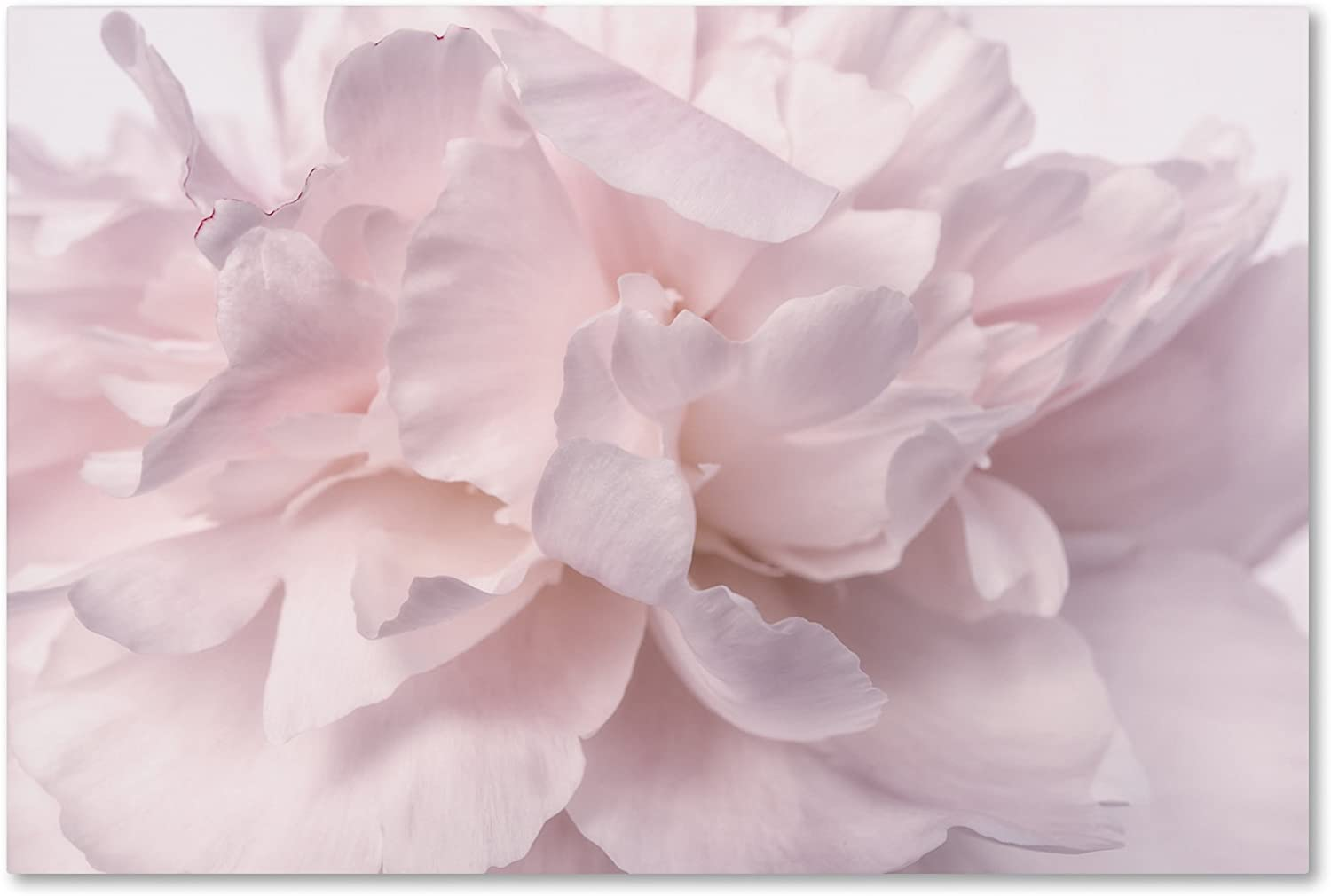 Pink Peony Petals Manufacturer regenerated product II by Cora Niele Wall Animer and price revision Art 12x19-Inch Canvas
