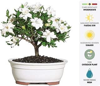 jasmine bonsai tree
