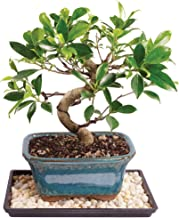 Brussel's Live Golden Gate Ficus Indoor Bonsai Tree - 5 Years Old; 6