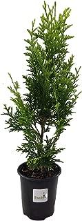 Sandys Nursery Online Thuja Green Giant Arborvitae Tree, Lot of 12, Quart Pot