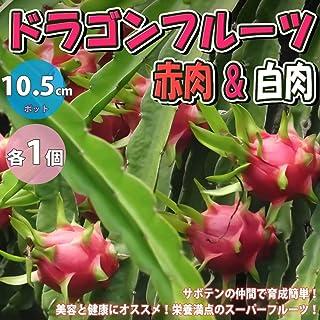 ドラゴンフルーツ 赤肉&白肉 各1個【果樹苗 10.5cmポット/赤肉&白肉 各1個セット】サボテンの仲間。丈夫で育成が簡単!花は月下美人に似ており、一晩限り咲く豪華な花は美しく、南米では「貴族の夫人」と呼ばれています。市場で流通している果実は...