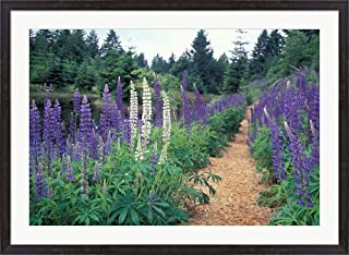 Lupines by a Pond, Kitty Coleman Woodland Gardens, Comox Valley, Vancouver Island, British Columbia by Brent Bergherm/Danita Delimont Framed Art Print Wall Picture, Espresso Brown Frame, 42 x 31 inc