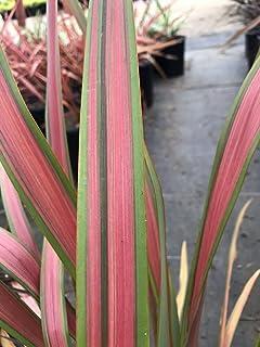 Live 5-Gallon Plant Phormium Jester New Zealand Flax - Live Plant