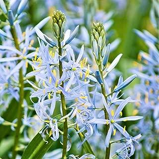 David's Garden Seeds Flower Native American Hyacinth Wild LA0559 (Blue) 25 Non-GMO, Heirloom Seeds