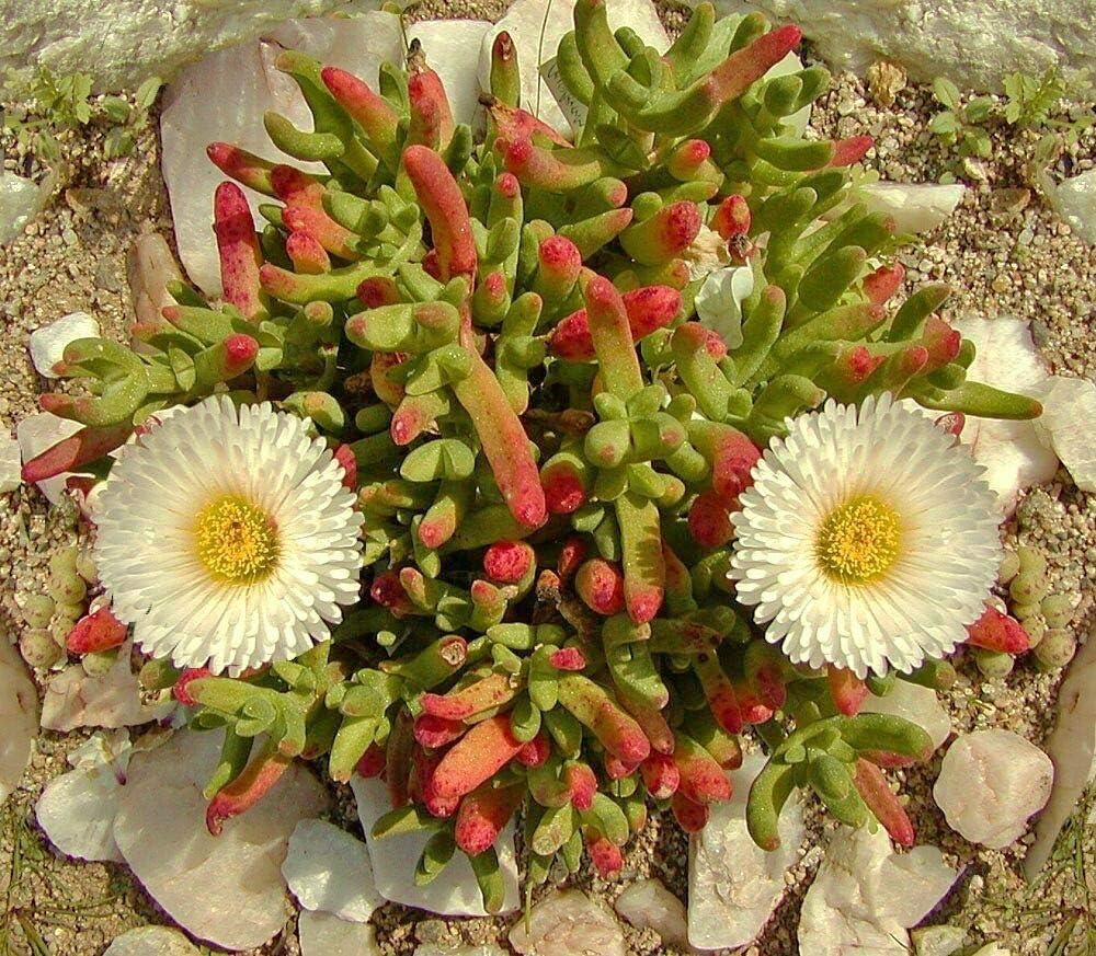 TricaStore 55% OFF _ DICROCAULON RAMULOSUM Exotic mesemb Cau Rare Cactus Large-scale sale