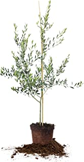 Perfect Plants Arbequina Olive Tree 3-4 ft, Live Includes Special Blend Plant Food, Guide