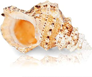 Juvale Large Natural Conch Sea Shell (5 to 7 in.)