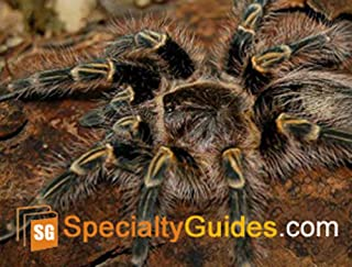 tarantula golden knee
