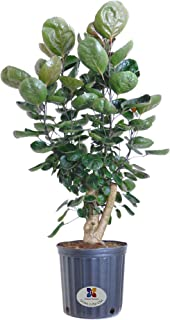 United Nursery Aralia Polyscias Fabian Stump Live Indoor Outdoor Tree Shipped in 9.25 inch Grower Pot 30-34 inches Tall