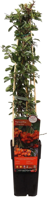 Hauteur 55-65cm 2x Pyracantha coccinea SOLEIL DOR Pot de /Ø 15cm Buisson ardent vert-jaune