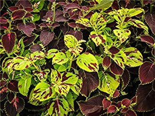 David's Garden Seeds Flower Coleus Rainbow Florist Strain Mix SL0994 (Muti) 25 Non-GMO, Heirloom Seeds