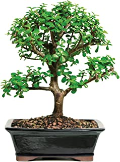 Best mature jade plant for sale Reviews