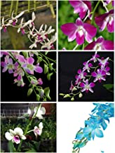 ROCHFERN Five(5 Nos) Dendrobium Live Orchids –Tissue Culture Plants – assorted colour.