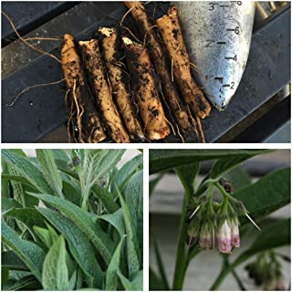 planting comfrey roots